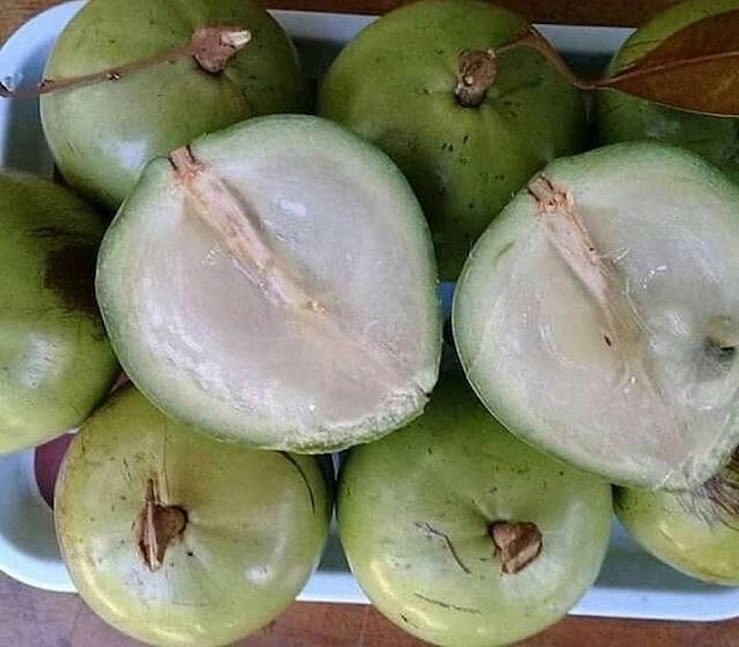 Bibit Buah Kenitu Sawo Durian Berkwalitas Harga Terjangkau Kupang