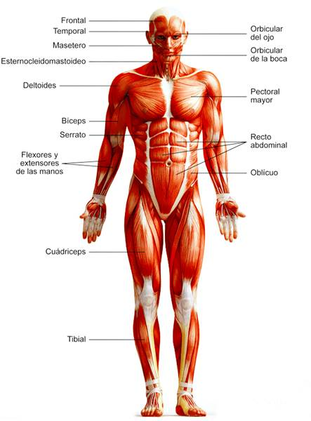 Sistema muscular esquelético humano anterior