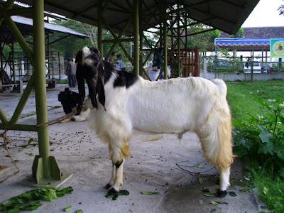 kurban kambing