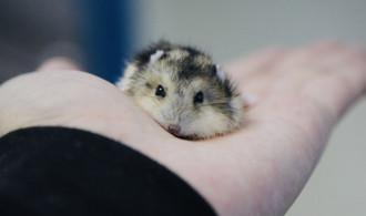 12+ Manfaat Memelihara Hamster Bagi Pemiliknya di Rumah