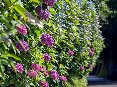 Ajisai (Hydrangea) flowers: Chojyu-ji