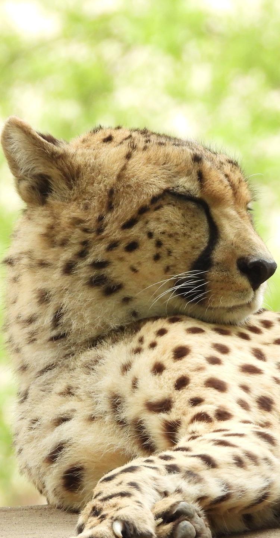A sleepy cheetah.