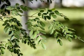ayurvedic benefits of moringa