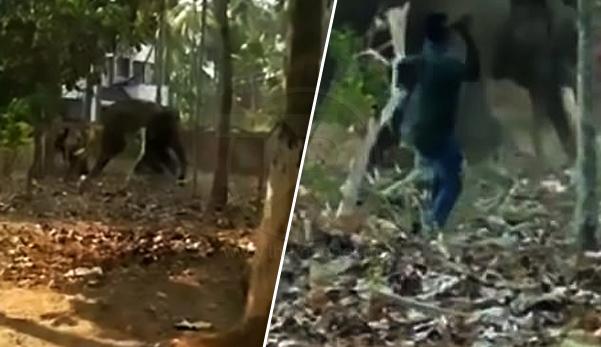 Terlupa bagi makan, gajah goncang & campak penjaganya yang mabuk sehingga mati