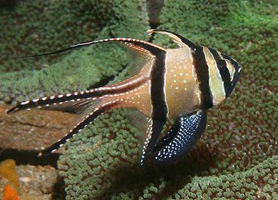 Ikan Hias Air Laut Banggai