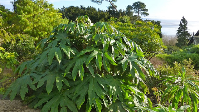 How to grow Tetrapanax papyrifera
