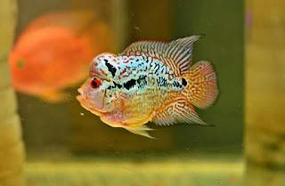 Ikan Louhan Jenis Bonsai