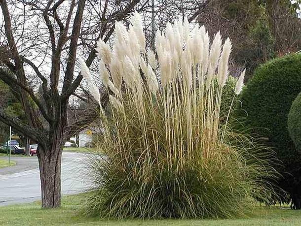 Гигантская куртина пампасной травы