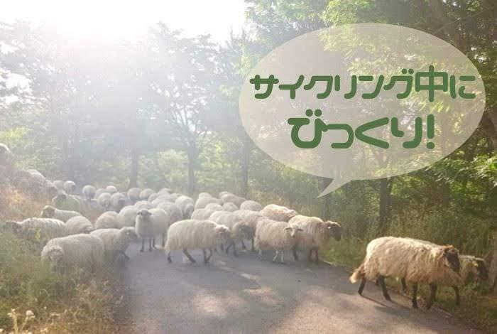 サイクリング中の道路にたくさんの羊たちが出没した様子