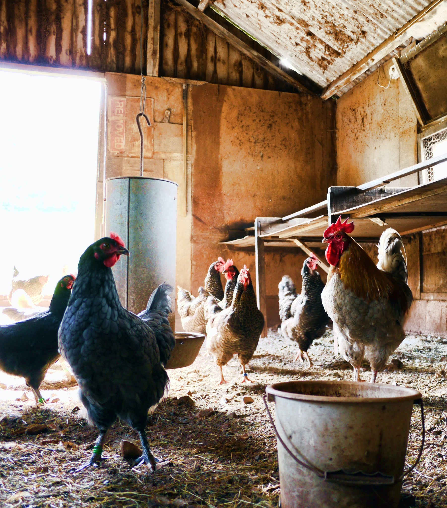 bisnis ibu rumah tangga peternak ayam