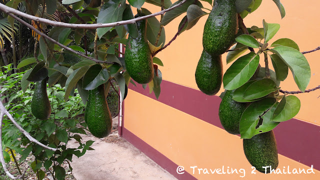 Avocado's in North Thailand