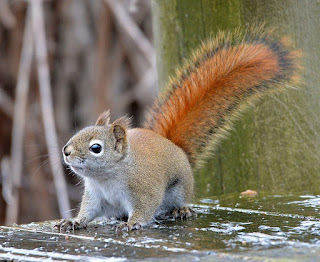 https://commons.wikimedia.org/wiki/File:Red_Squirrel_(193737389).jpeg