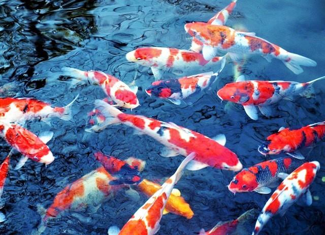 5 Tips Penyimpanan Makanan Ikan Koi yang Baik dan Benar