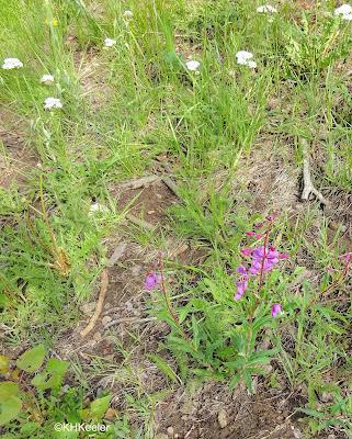 yarrow and fireweed, Taos New Mexico