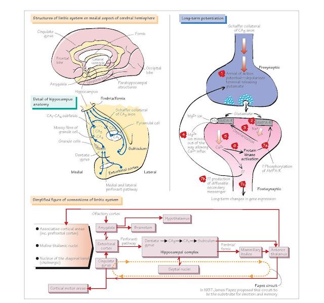 Limbic System And Long-Term Potentiation, Anatomy of the limbic system, Functions of the limbic system, Amygdala, Cingulate gyrus,