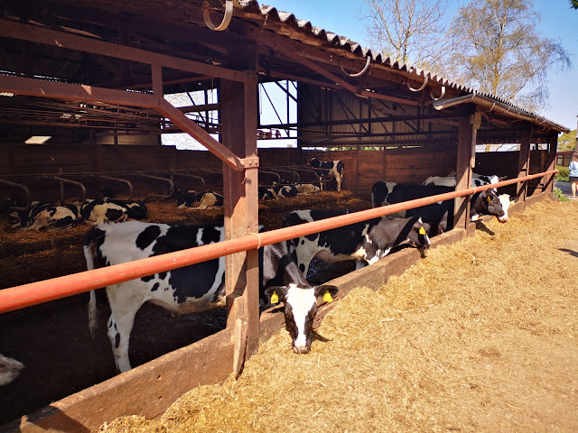 Cows in a cattle shed