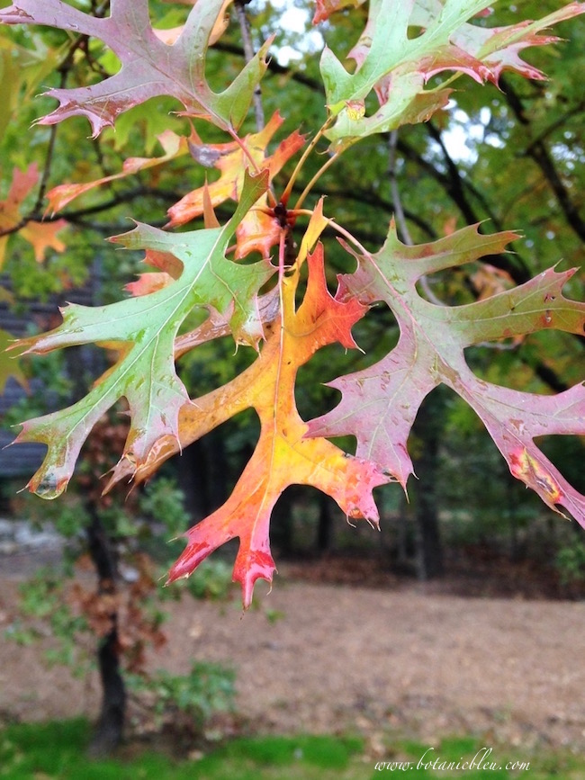 fall-red-oak-tree-colored-leaves