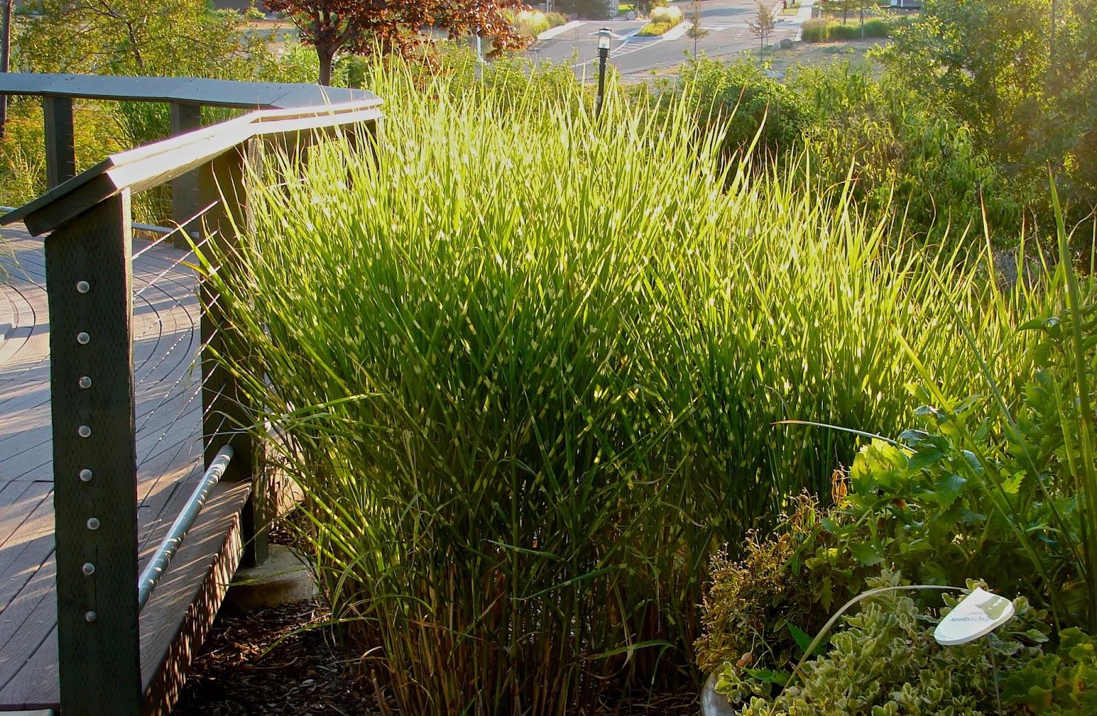 new utah gardener miscanthus sinensis 39 strictus. Black Bedroom Furniture Sets. Home Design Ideas
