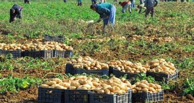 المهدية : إنتاج وفير من صابة البطاطا