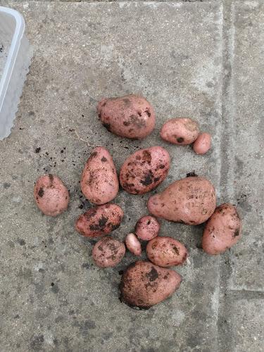 Potato Yield Crop