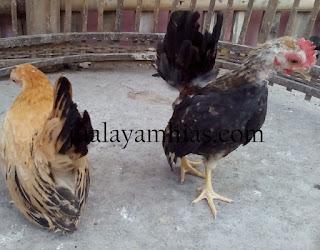 Ayam Serama Usia 3 Bulan