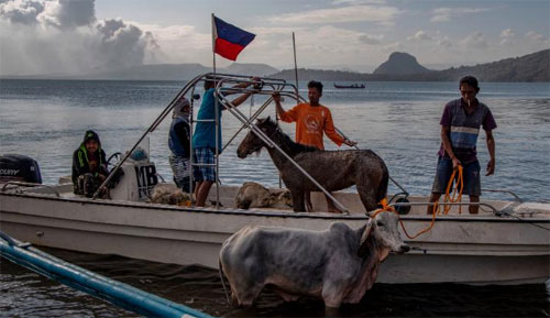 Hewan-hewan terlihat di atas kapal setelah diselamatkan dari dekat kawah Gunung Berapi Taal oleh penduduk pada 14 Januari 2020 di Balete.