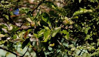 Buddleia tree