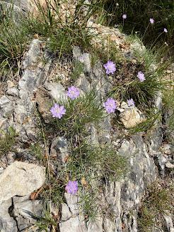 [Caprifoliaceae] Lomelosia graminifolia - Scabious (Vedovina strisciante)