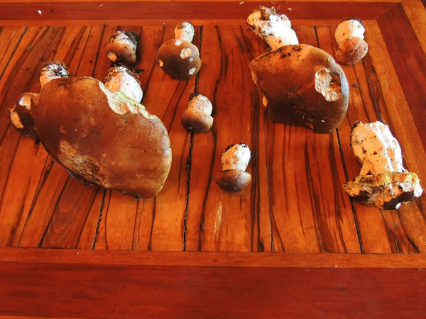 Picture of some cep mushrooms