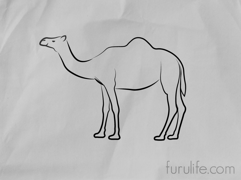 How to draw Camel - Step 7