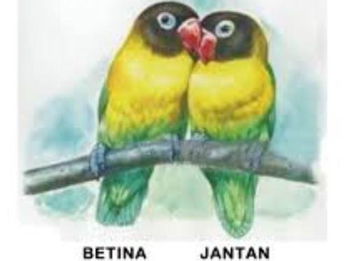 Ciri Perbedaan Lovebird Jantan dan Betina