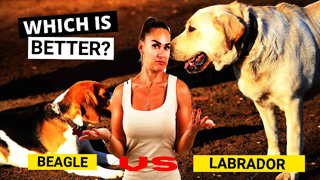 Beagle dog vs Labrador dog - Which is Better?