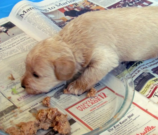 When Do Puppies First Eat Solid Food