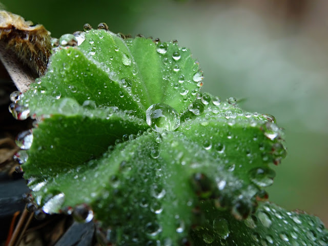 Raindrops On Lady's Mantle