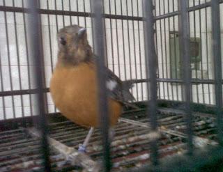 niscaya sudah mengetahui burung Anis Merah atau  Tips Merawat Anis Merah yang Macet Bunyi