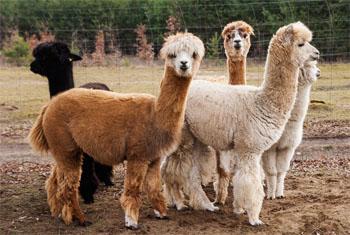 Alpaka Unta Kecil Berbulu Domba  Republik Eusosialis Tawon