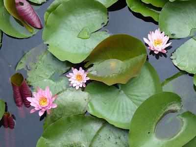 寝屋川市の山新池 スイレンの花
