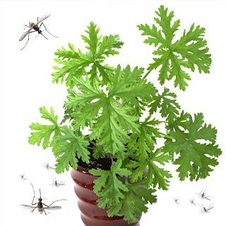 inilah 5 Tanaman Ini Bisa Mengusir Nyamuk di Rumah Anda
