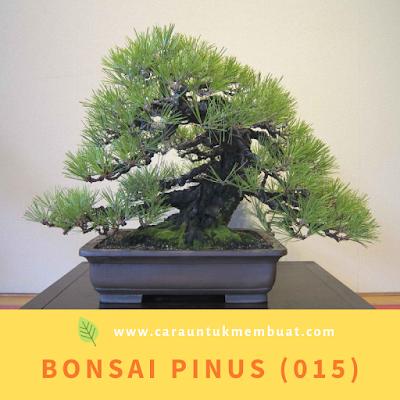Bonsai Pinus (015)