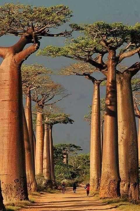 Baobá   Adansonia