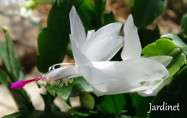 Flor-de-maio branca