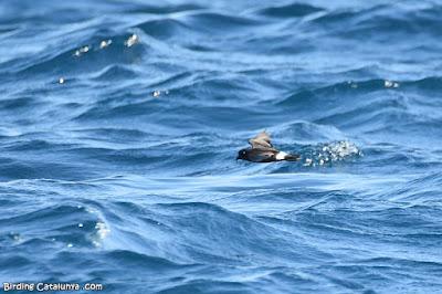 Ocell de tempesta (Hydrobates pelagicus)