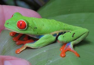 Agalychnis callidryas, Red-eyed Treefrog