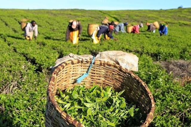 Darjeeling planters target expats and high net worth individuals