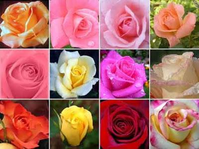 Contoh keanekaragaman warna mawar