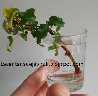begonia-cuban-holly