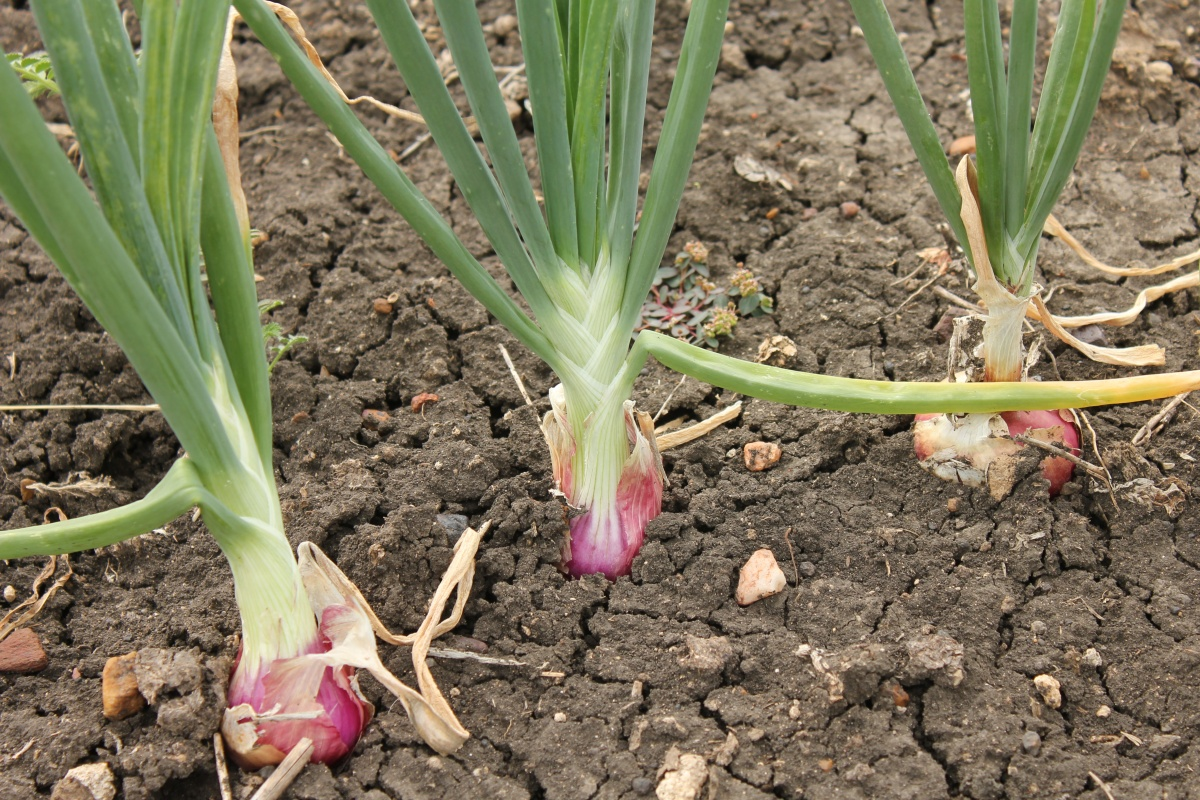 Onion+Plant+02 - Exactly what is the most effective iphone app pertaining to gardening