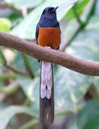 murai ekor panjang www.burung45.blogspot.com