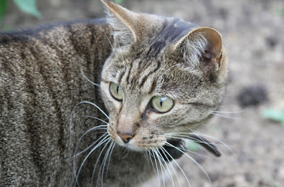 Sejarah Kucing Bramble