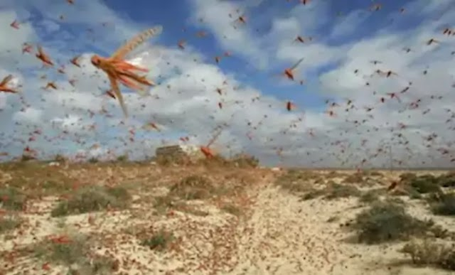 DGCA warns: Locusts may be in danger during landing and take-off of flights